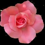 красивый розовый цветок