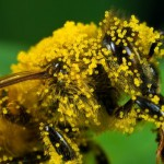 пыльца и пчела